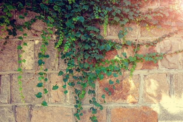Achtergrond achtergrond wijnstok zomer groei hek