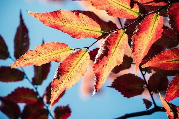 Achtergrond de herfstbladeren in japan