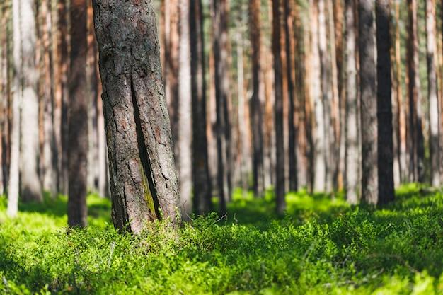 Achtergrond dennenbos met groen, weelderig bosbessengras. focus op voorgrond, onscherpe achtergrond.