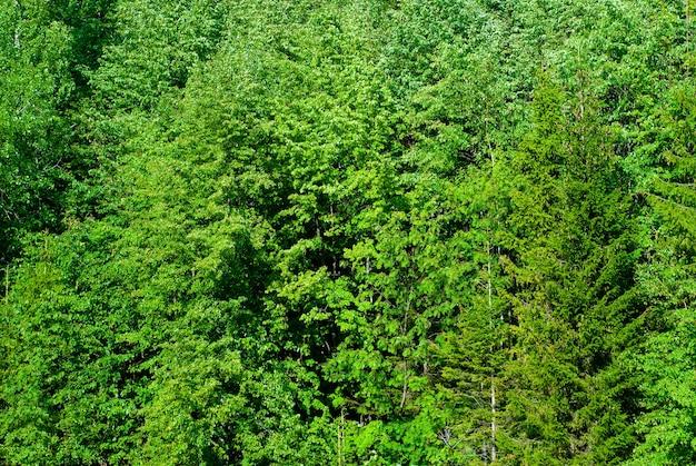 Achtergrond - een muur van natuurlijke bosvegetatie, gebladerte van loofbomen in de gematigde zone