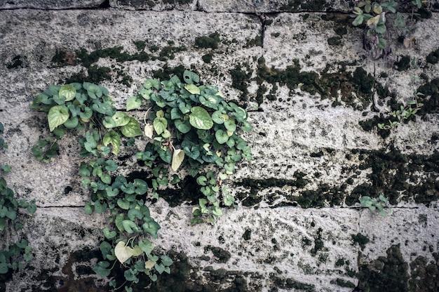 Achtergrond grijze betonnen stenen muur met mos en weven plant.