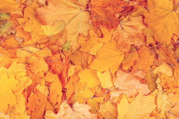 Achtergrond groep herfst oranje bladeren. buitenshuis. esdoorn gele bladeren achtergrondstructuur. prachtig tapijt van gevallen gouden esdoornbladeren