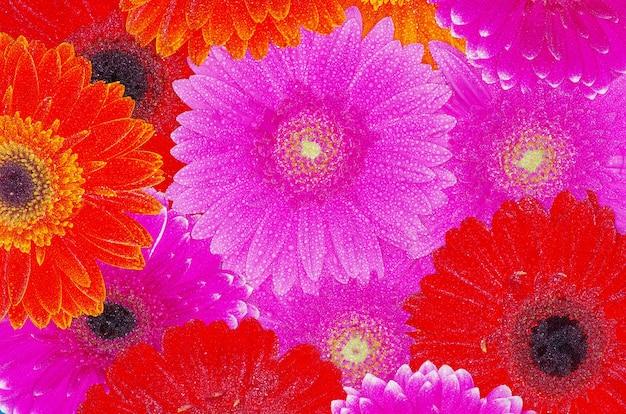 Achtergrond kleurrijke gerbera's close-up