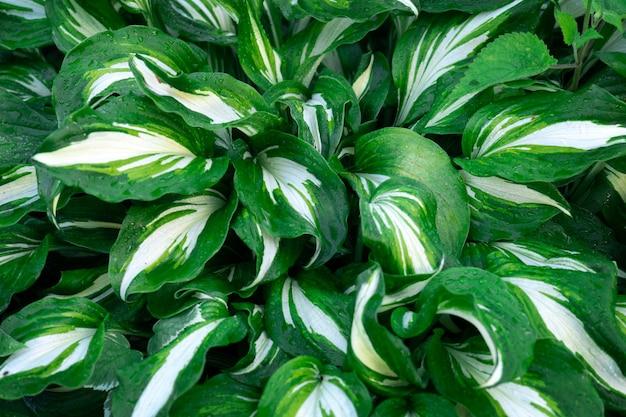 Achtergrond met groene bladeren van hosta plant bedekt met regendruppels close-up na de zomerregen