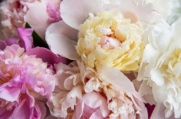 Achtergrond met roze pioenrozen als een natuurlijke achtergrond