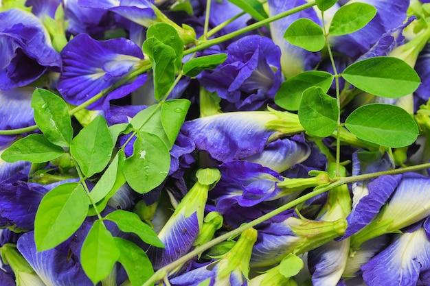 Achtergrond of behang van bloemstapels vlindererwt, blauwe erwt