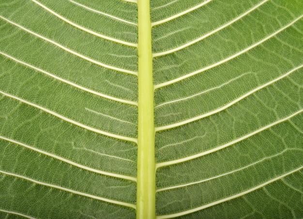 Achtergrond plumeria-bladeren