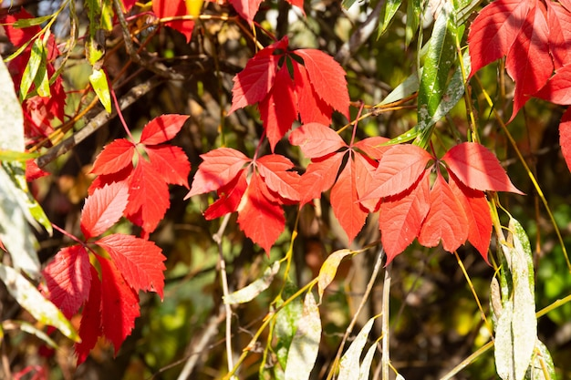 Achtergrond, textuur van rode en groene herfstbladeren.