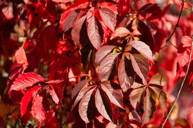 Achtergrond, textuur van verse rode herfstbladeren.