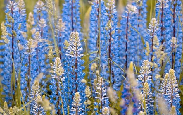 Achtergrond van blauwe lupine bloemen op een zomer-veld