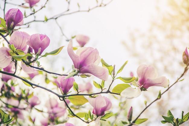 Achtergrond van bloeiende magnolia's. bloemen. selectieve aandacht.