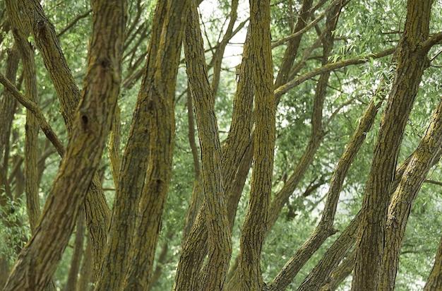 Achtergrond van boomstammen in het bos. concept van eenheid met de natuur