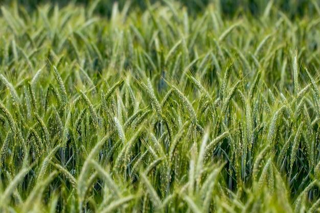 Achtergrond van de verse lente groene tarwe veld oren close-up.