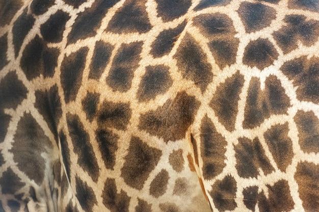 Achtergrond van dierenhuid van de patroonbonttextuur op een afrikaanse giraf