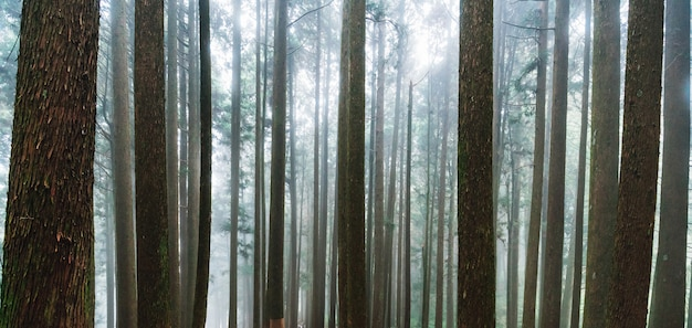 Achtergrond van direct zonlicht door bomen met mist in het bos in alishan.