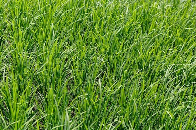 Achtergrond van een groene grastextuur. detailopname