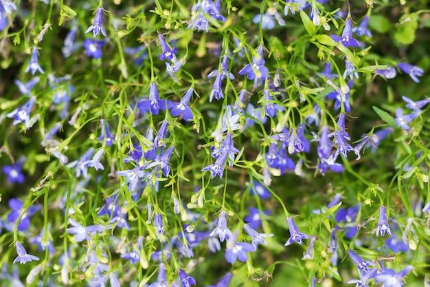 Achtergrond van een groot aantal kleine blauwe bloemen. selectieve aandacht.