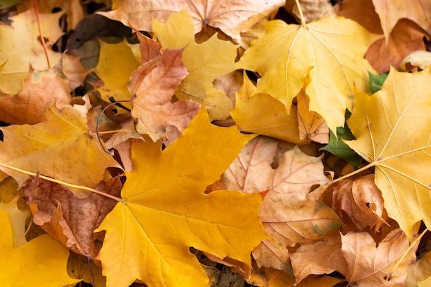 Achtergrond van gekleurde herfst esdoorn bladeren in een ochtend.