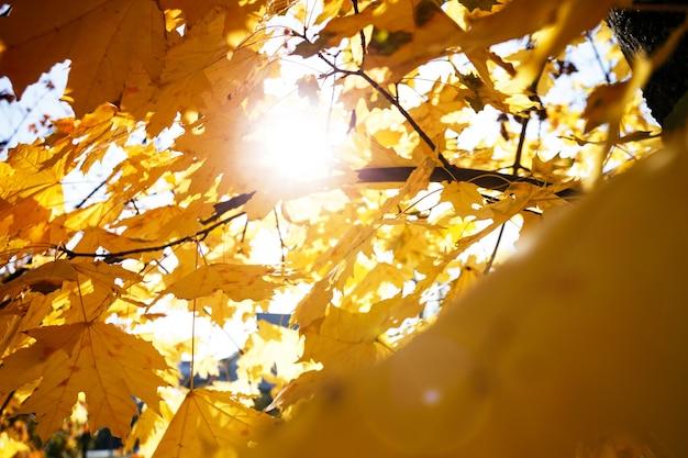 Achtergrond van gele esdoornbladeren. herfst