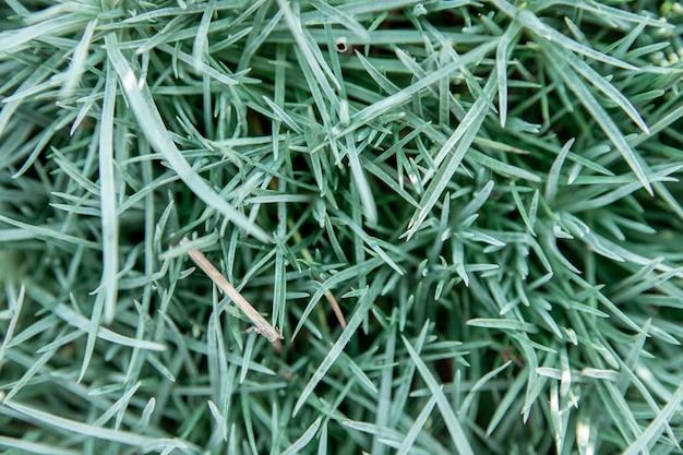 Achtergrond van grasbladeren. gras close-up. natuurlijke textuur. schoonheid in de natuur.