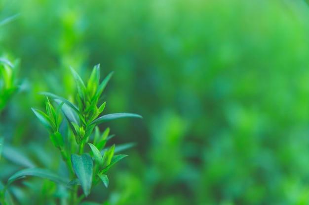 Achtergrond van groene bladeren. vervagen op de achtergrond. natuurlijke textuur.