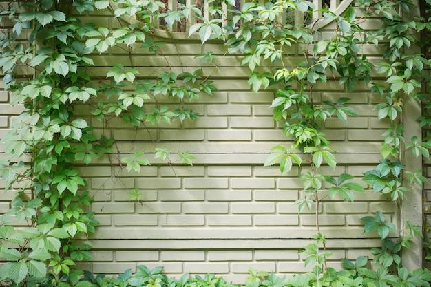 Achtergrond van groene omheining verstrengeld met wilde vijfbladige druiven