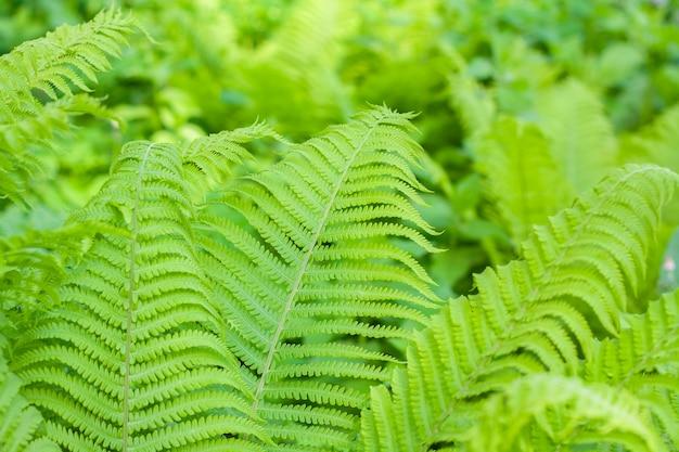 Achtergrond van heldergroene varenbladeren in de tuin