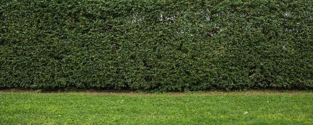 Achtergrond van het aard de groene blad en geweven, bladerenmuur met groen gras voor achtergrondpanorama