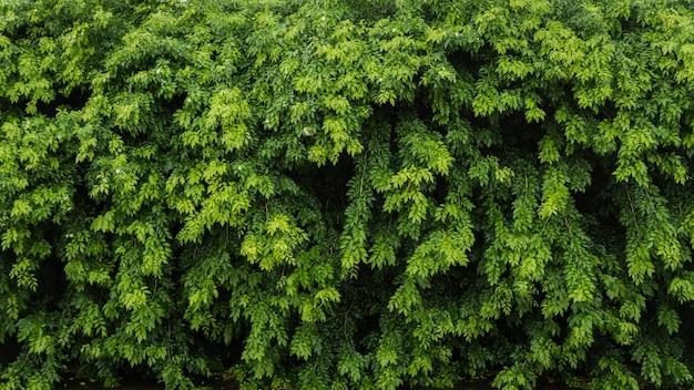 Achtergrond van het aard de groene blad en geweven, bladerenmuur voor achtergrond,