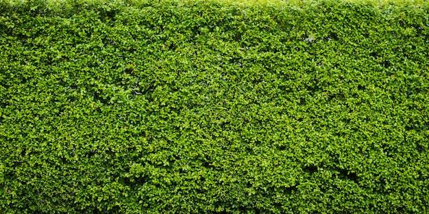 Achtergrond van het aard de groene blad en geweven, bladerenmuur voor achtergrondpanorama