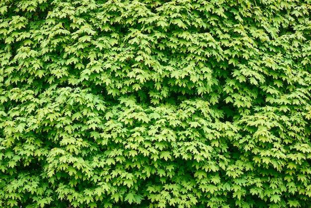 Achtergrond van het weelderige groene gebladerte van esdoorn.