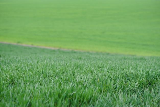 Achtergrond van jonge groene tarwe in het voorjaar