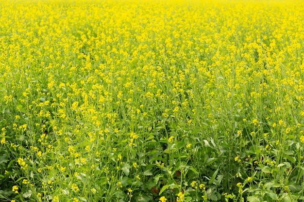 Achtergrond van mosterdinstallaties met mooi geel bloemengebied in indiër.