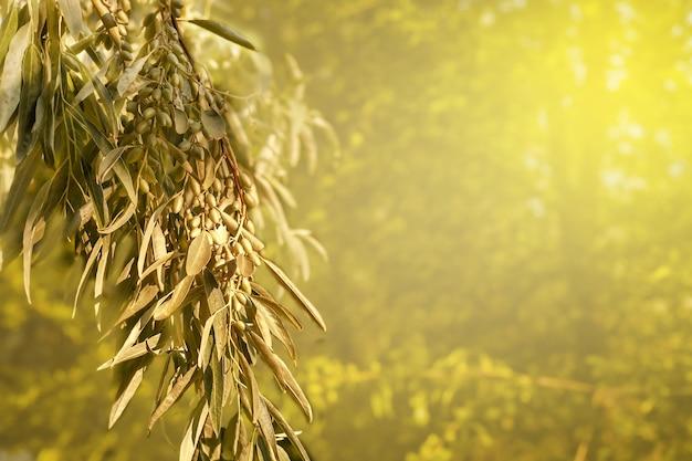 Achtergrond van olijftakken in de gouden stralen van de zon copyspace