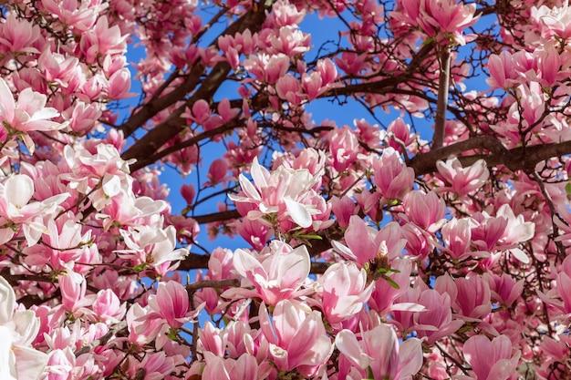 Achtergrond van paarse magnolia bloem. natuurlijke bloem achtergrond