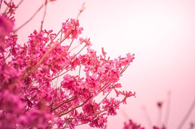 Achtergrond van prachtige kersenbloesems.