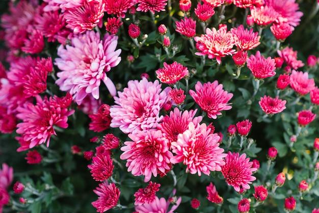 Achtergrond van purpere roze chrysantenbloemen in de tuin