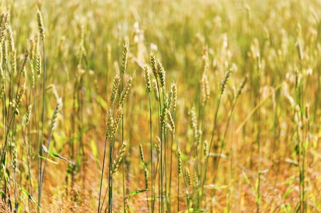 Achtergrond van rijpe tarwe spikes. rijke oogst van gouden tarwe.