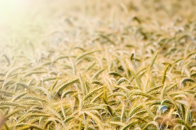 Achtergrond van rijpende oren van geel tarweveld met zonlicht, rogge op het veld. kopieer ruimte aan de horizon in landelijke weide. close-up natuurfoto idee van een rijke oogst in een zonnige zomer