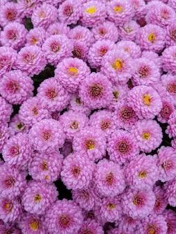Achtergrond van roze chrysanten
