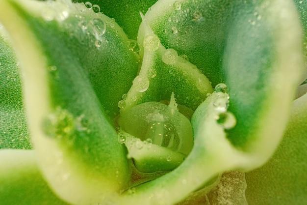 Achtergrond van sappige plant textuur close-up foto