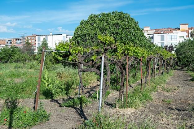 Achtergrond van wijnstokken in een privétuin voor de consumptie en het maken van pitarra of zelfgemaakte wijn
