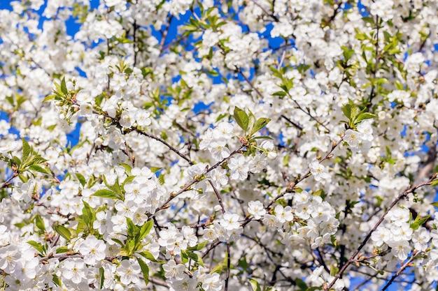 Achtergrond van witte bloemenkers