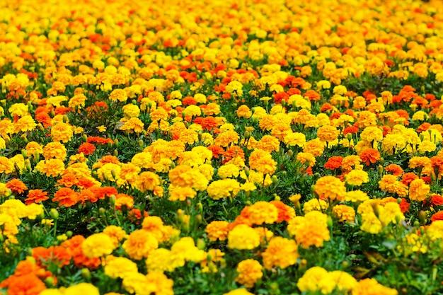 Achtergrond van zomerbloemen, weide van levendige goudsbloembloemen