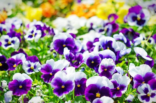 Achtergrond van zomerbloemen, weide van levendige viooltjes (altviolen), selectieve aandacht, ondiepe scherptediepte