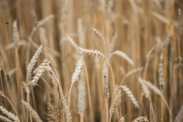 Achtergrondafbeelding close-up van tarwe aartjes op het veld. gouden aartjes symbool van oogst en vruchtbaarheid. selectieve aandacht