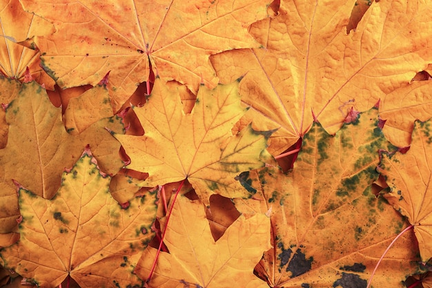 Achtergrondgroep gevallen de herfst oranje bladeren van esdoornbomen