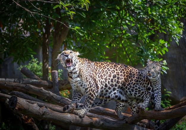 Acties van luipaard brullen in natuurlijke atmosfeer.