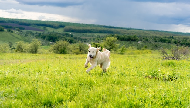 Actieve jonge hond die op zonnig lenteveld loopt