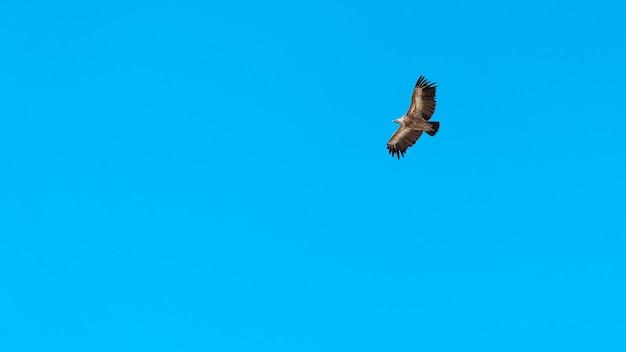 Adelaar die in de blauwe lucht vliegt
